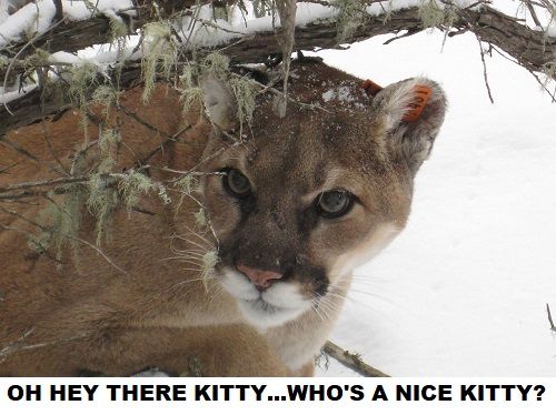 friendly mountain lion